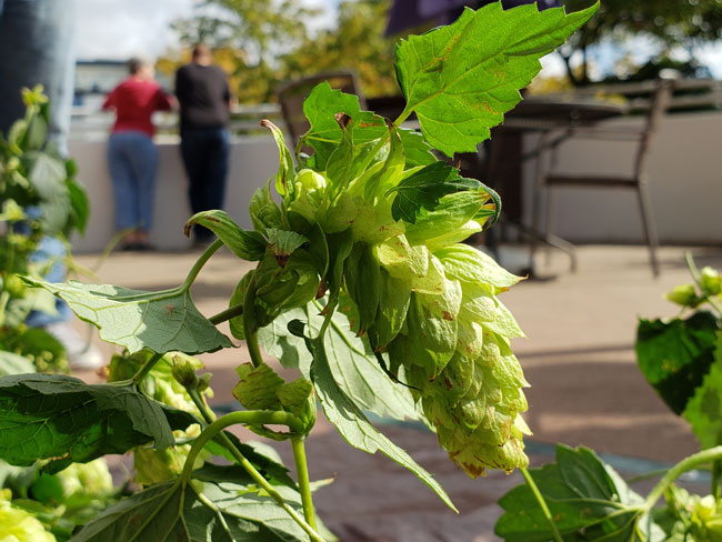 The Beaumonts grow the hops at their home in Queen Anne.
