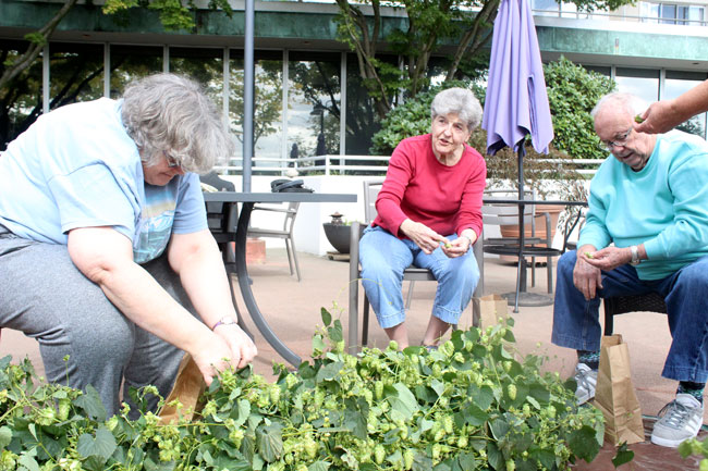 Bayview residents pick hops in the garden plaza on Saturday, Sept. 21.