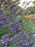 Get Growing: Growing drought-tolerant plants in the PNW